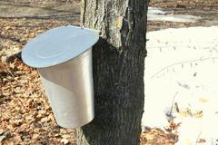 Buckets for collecting maple sap Stock Photos