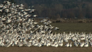Stock Video Footage of Snow Geese, Flock, Flying, Landing, Feeding,  4K, UHD