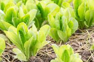 Stock Photo of green lettuce plant
