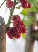 Mulberry on tree is berry fruit in nature Stock Photos