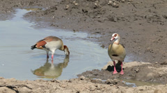 Foraging egyptian geese Stock Footage