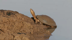 Helmeted terrapin Stock Footage