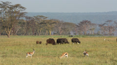 Grazing buffaloes and gazelle Stock Footage