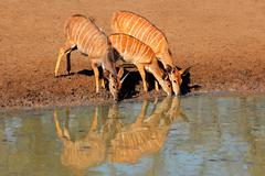 Nyala antelopes drinking - stock photo