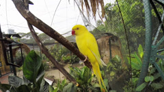 Yellow Lovebirds Stock Footage