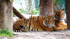 Malayan Tiger Stock Footage