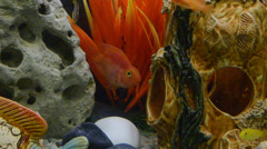 Lots of Lake Malawi Cichlids (Cichlidae) swimming in a tank. Stock Footage