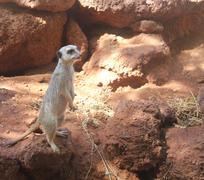 Typical alert meerkat pose Stock Photos