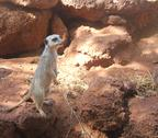 Stock Photo of typical alert meerkat pose