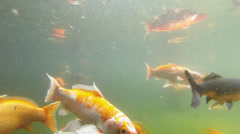 Japanese carps swimming in garden pond Stock Footage