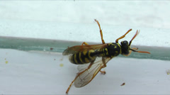 Wasp next the glass - stock footage