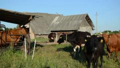 Panorama of dairy milk maid woman milking cow and animals wait Stock Footage
