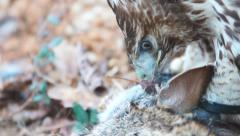 Red-tailed Hawk eating a rabbit Stock Footage