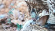 Stock Video Footage of Red-tailed Hawk eating a rabbit