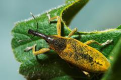 Snout beetle ( lixus angustatus ) Stock Photos