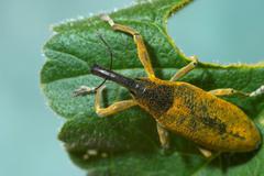 Stock Photo of snout beetle ( lixus angustatus )