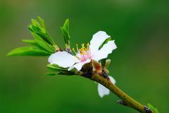 flower  almond tree - stock photo