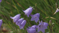 Campanula rotundifolia - Harebell - Bluebells of Scotland - close up Stock Footage