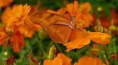Stock Photo of Julia Butterfly