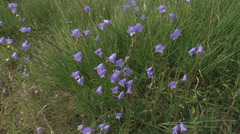 Wide shot + tilt up Campanula rotundifolia, Harebell,  Bluebells of Scotland Stock Footage