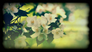 "Stock Video Footage of Jasmine flower called the ""king of all flowers"""