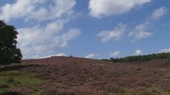 Hold + pan Hillside heath flowering in Veluwe National Park Stock Footage