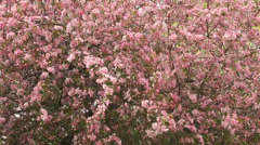 Crab apple tree in full bloom Stock Footage