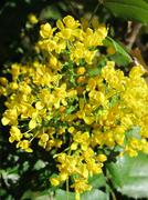 Oregon grape (Mahonia aquifolium) flowers in the spring garden Stock Photos