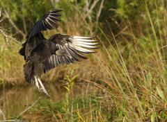 turkey vulture (cathartes aura) flying in a field - stock photo