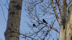 Stock Video Footage of Ravens