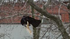 Crow Attacks 6 Stock Footage