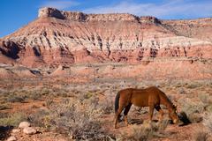 Domestic animal livestock horse grazes desert southwest canyon landscape Stock Photos