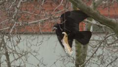 Crow Attacks 4 Stock Footage