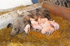 suckling pigs - stock photo