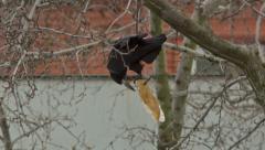 Crow Attacks 3 Stock Footage