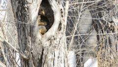 Squirrel in Knothole of tree - stock footage