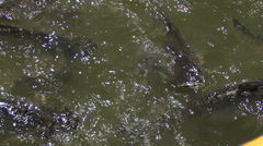 Fish in the water in a river in Bangkok Thailand Stock Footage