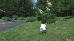 Little white dog playing outside Stock Footage