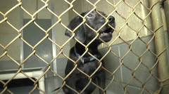 black puppy dog awaits adoption - stock footage