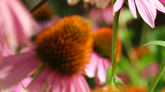 Pink Coneflowers Stock Footage