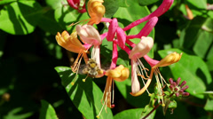 Bumblebee working on flower Stock Footage