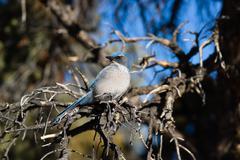 Scrub jay blue bird great basin region animal wildlife Stock Photos