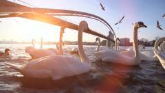 Swan lake. white swan. romantic sunset. bridge landscape. pond. slow motion Stock Footage