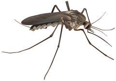 Mosquito Stock Illustration