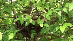 An Asian Barbet on its nest Stock Footage