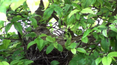 An Asian Barbet leaves its nest Stock Footage
