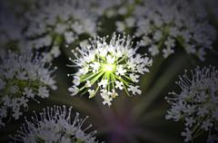 angelica sylvestris, medicinal plant - stock photo