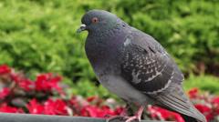 Pigeon in Ferrol, Northern Spain Stock Footage