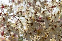 Wishing tree, pink showe, cassia bakeriana craib, beneath a tree flowering pi Stock Photos