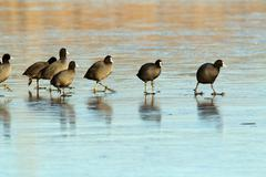 coots ( fulica atra ) walking with care on frozen surface - stock photo